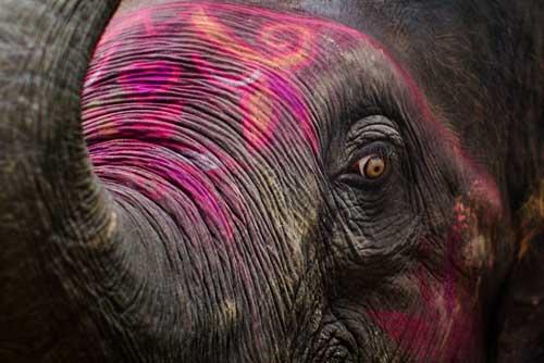 La frente y las orejas se decoran con tiza para hacer los animales más atractivos para la venta